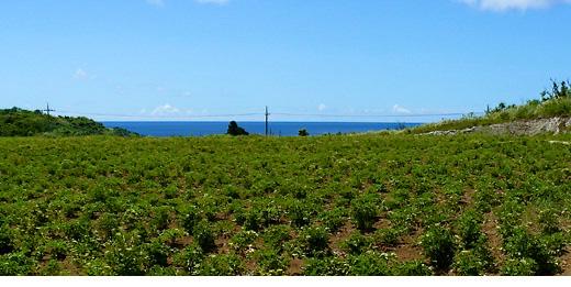 okinawanfield
